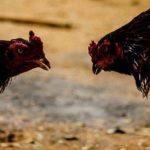 Mengenal Dua Jenis Sabung Ayam Online
