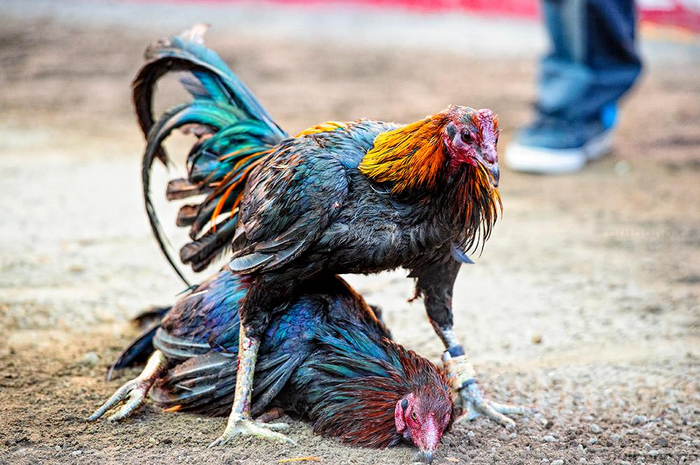 Kendala Bermain Judi Sabung Ayam Online Harus Dihindari